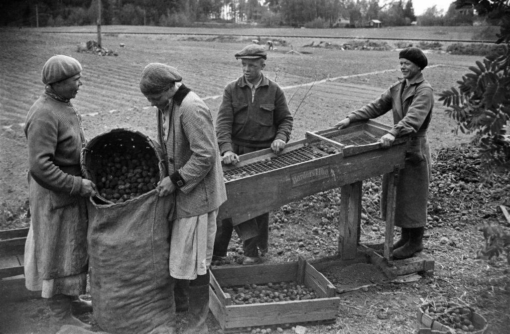 Ihmisiä palstalla lajittelemassa perunoita Herttoniemessä 1954